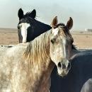 chevaux-deux-amis