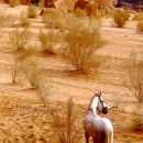 chevaux-horse-meditation-in-desert