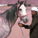 nos-chevaux-luna-en-attente-embarquement-chevaux