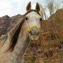 nos-chevaux-seef-saad-a-l-attache