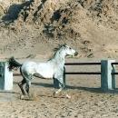 nos-chevaux-shams-dans-tous-ses-etats