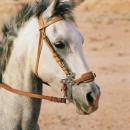 chevaux-shollah-avec-hackamore