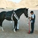 nos-chevaux-zelda-en-parure