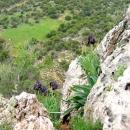 l_iris-noir-embleme-de-jordanie-jpg